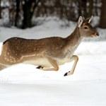 Постер, плакат: Deer in winter