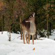 Deer in winter — Stock Photo