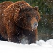 Brown bear -  