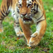 Portrait of the Amur tiger — Foto Stock
