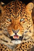 Portrait of leopard — Stock Photo