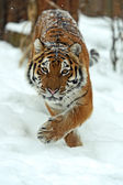 Tiger — Stok fotoğraf