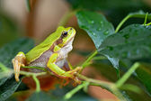 Portrait of Frog — Stock Photo
