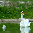 Swan chick — Stock Photo