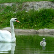 Swan chick - Stock Photo