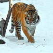 Amur tiger - Zdjcie stockowe