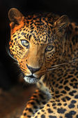 Portrait of leopard — Stock Photo
