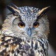 Portrait Owl — Stock Photo #23465130