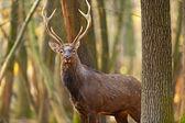 Ciervo manchado — Foto de Stock