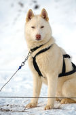 Husky hond — Stockfoto
