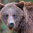 Brown bears in the Carpathians. — Foto Stock