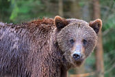 Brown bear in the Carpathians — Stock Photo