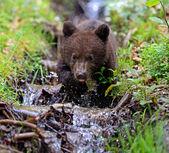 Little Bear — Stock Photo