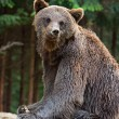 Brown bears in the Carpathians. — Stockfoto