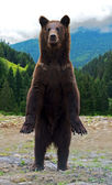 Brown bears in the Carpathians. — Stock Photo