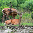 Deer Altai — Stock Photo #28485713