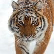 Siberitiger — Stock Photo #28818455