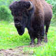 Bison — Stock Photo