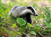 Badger — Stock Photo