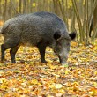 Wild boar in the autumn forest. — Stock Photo