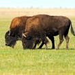 Bison in plains — Stock Photo #30949349