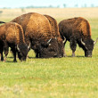 Bison in plains — Stock Photo #30949375