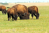 Bison in plains — Stock Photo