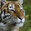 Portrait of a tiger — Stockfoto