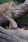 Portrait Cougars — Stock Photo