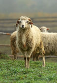 Sheep graze in the mountains — Stock Photo