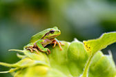 Green tree frog on a branch — Stock Photo