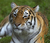 Portrait of a tiger — Stock Photo