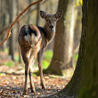 Spotted Deer — Stock Photo #31681461