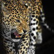 Amur Leopard — Stock Photo #31681939