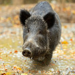 Wild boar in the autumn forest — Stock Photo #31685031