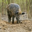 Stock Photo: Wild boar in the autumn forest