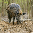 Wild boar in the autumn forest — Stock Photo