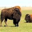 Bison in the southern plains — Stock Photo