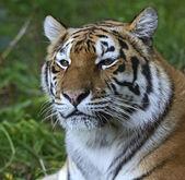Skin Amur Tiger — Stock Photo