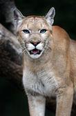Portrait Cougars — Stock Photo
