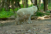 Wolf with cubs in the forest — Stok fotoğraf
