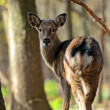 Spotted Deer — Stock Photo #32169973