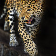 Stock Photo: Amur Leopard