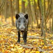 Wild boar in the autumn forest — Stock Photo #32171529