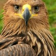 Steppe eagle — Stock Photo