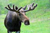Elk in nature — Stock Photo