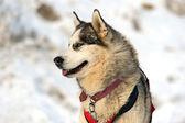 Husky köpek — Stok fotoğraf