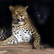 Amur Leopard — Stock Photo