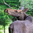 Moose in nature — Stock Photo