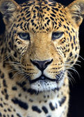 Amur Leopard — Photo